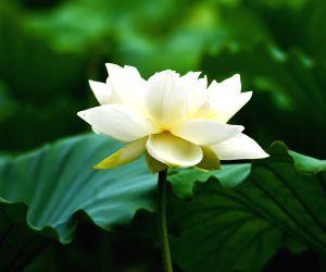 CHINA-SHANDONG-JINAN-LOTUS FLOWERS