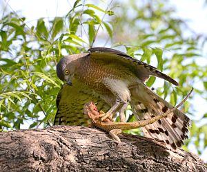 Shikra hunts a garden lizard