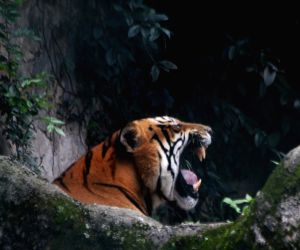 A Royal Bengal Tiger roams in its cage on Global Tiger day