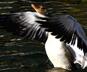 CHINA-TIBET-BAR-HEADED GOOSE