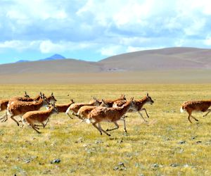 CHINA TIBET CHANGTANG RESERVE WILDLIFE