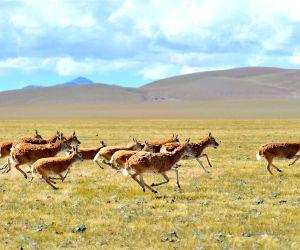 CHINA TIBET CHANGTANG RESERVE WILDLIFE