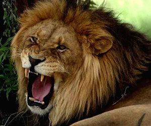 Lion unleashed on man for