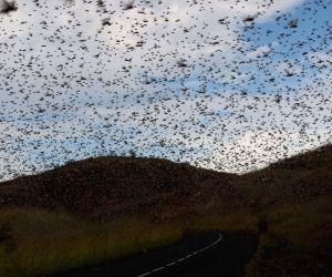 Locust Menace In Rajasthan To Worsen If Bugs Breed