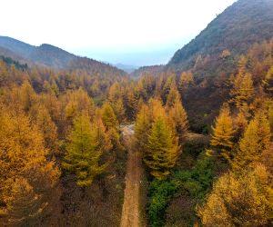 CHINA-HUNAN-LONGSHAN-LARCH TREES