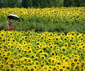 CHINA-HENAN-OIL SUNFLOWERS
