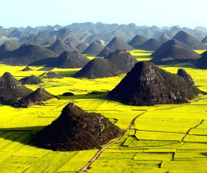CHINA YUNNAN RAPE FLOWERS