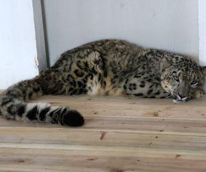 Darjeeling zoo welcome snow leopard from Britain