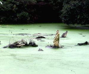 INDONESIA-MEDAN-CROCODILES BREEDING