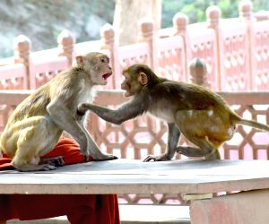 Monkeys in a playful mood