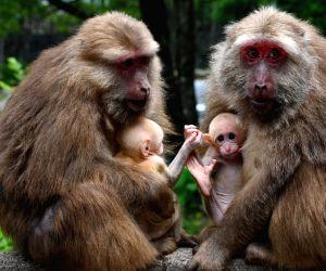 China-nature-mount Wuyi-macaque