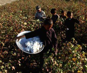 Nangarhar (Afghanistan): Afghan children harvest cotton buds