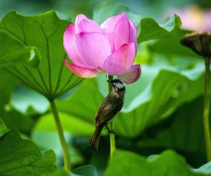 CHINA-NANJING-LOTUS FLOWER