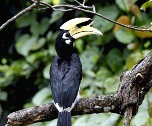 Guangxi Zhuang: Pied hornbill