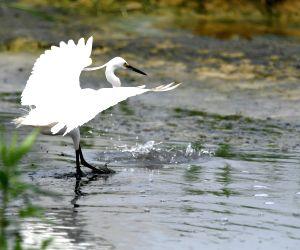 China-nanning-egret