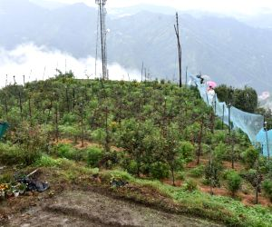 Natural farming revives Shimla's abandoned apple orchard