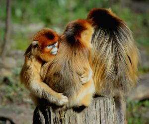 Ningshan (China): Wild golden monkeys at the Qinling Mountains