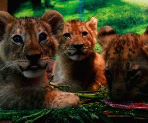 INDONESIA-PASURUAN-BABY LION CUBS