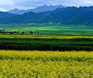 CHINA GANSU RAPE FLOWERS