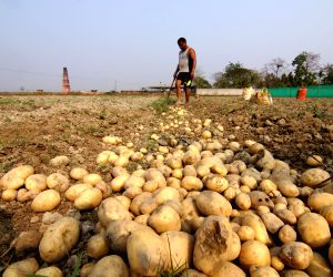 51 per cent people eat potatoes every day: Survey
