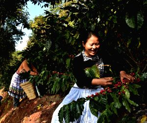 CHINA YUNNAN PU'ER COFFEE HARVEST