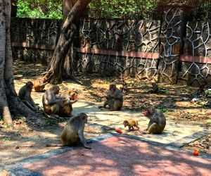 In Himachal, why monkeys are no one's business!