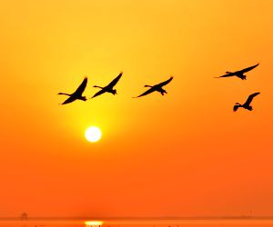 (030314) Whooper swans fly in Rongcheng