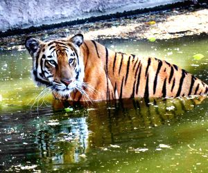 Tiger population improves to 2,967 in 2018: Modi