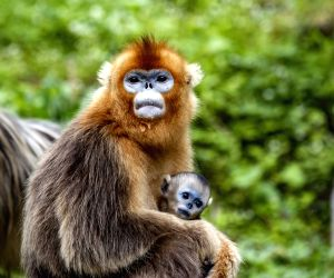 China-hubei-shennongjia-golden Monkey