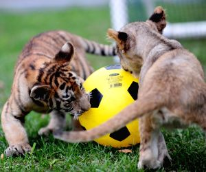 "Tiger and lion cubs compete in a ""soccer game"""