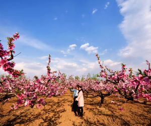 CHINA HEBEI PEACH BLOSSOMS