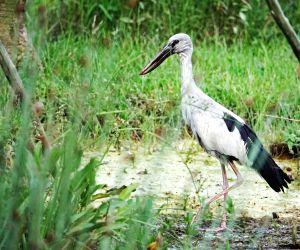 Singapore-asian Openbill Stork