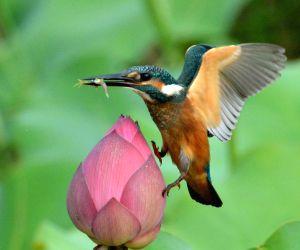 Tangshan (Hebei) : Kingfisher Love Lotus