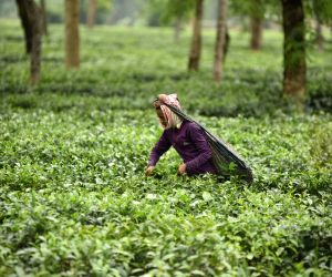 India's tea production down 4% in June