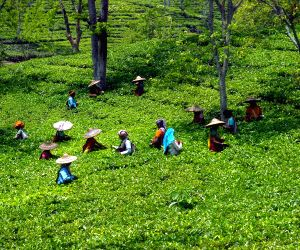 Prolonged dry spell pushes tea industry towards crisis