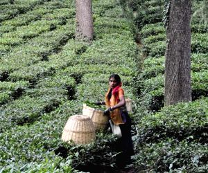 Palampur: Abode of pastoral hues, tea gardens and longed-for serenity (Travelogue) ()