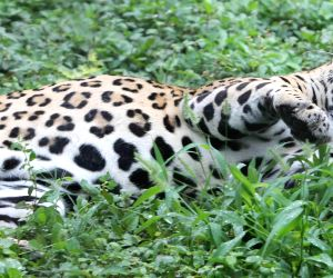 ICRISAT leopard caught, released in Srisailam forests