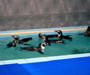 Humboldt penguins at Mumbai Zoo