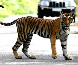 File Photo: Tiger