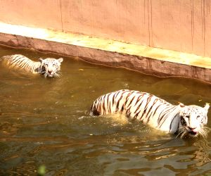 Nehru Zoological Park - Tigers