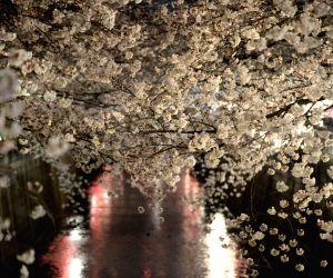 JAPAN TOKYO CHERRY BLOSSOM