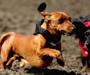 Annual Wiener Dog Racing