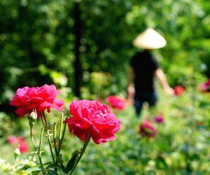 China-xi'an-edible Rose