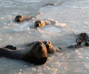 CHINA-YANTAI-SPOTTED SEALS
