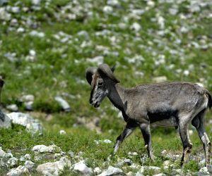 CHINA NINGXIA HELAN MOUNTAIN BLUE SHEEP