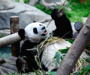 South Korea-yongin-china-giant Panda