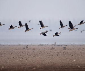 CHINA-HUNAN PROVINCE-DONGTING LAKE-MIGRANT BIRDS