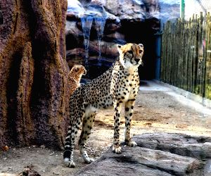 China-henan-cheetah