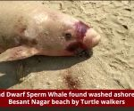 Chennai: Dead Dwarf Sperm Whale was found washed ashore at Besant Nagar beach