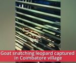 Goat snatching leopard captured in Coimbatore village